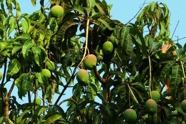 Mangobaum aus Mango Kern Pflanze ziehen Entwicklung