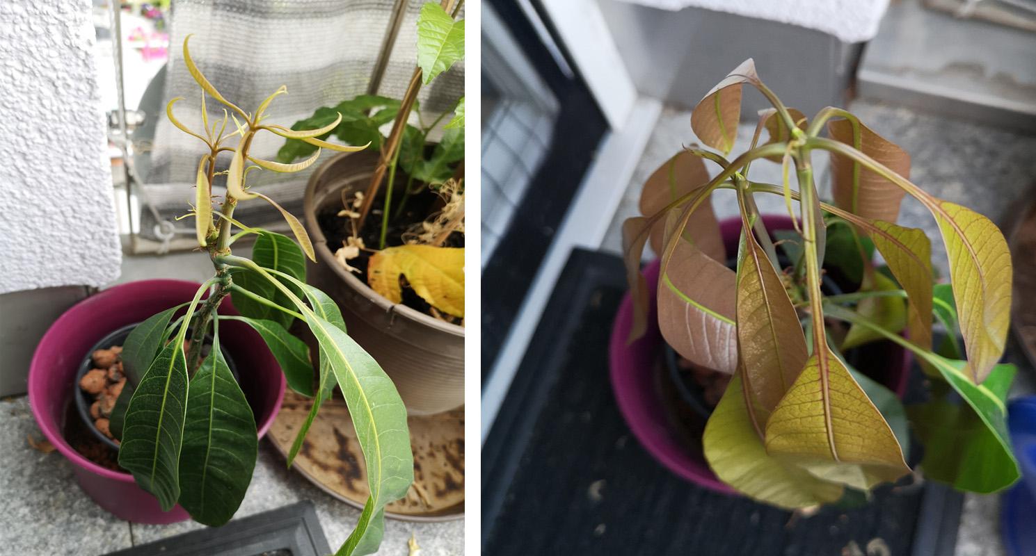 Mangopflanze ziehen aus Kern Einpflanzen Fotos von Tintentick